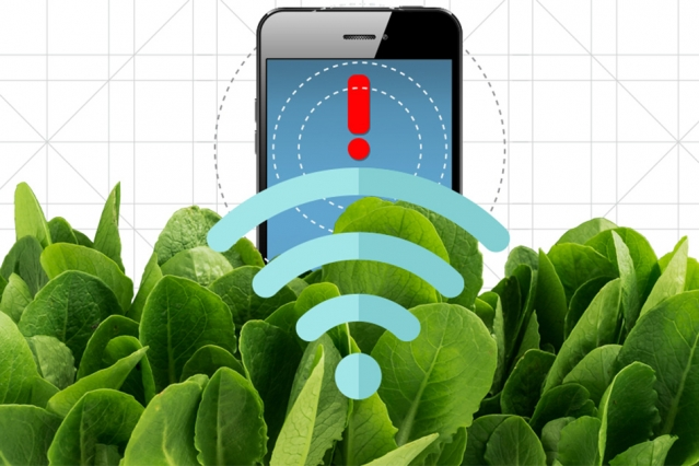 Scientists at MIT have grown spinach plants that can send information on contaminants to a smartphone